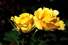 Rose-Midas Touch-2007-04-01-0001