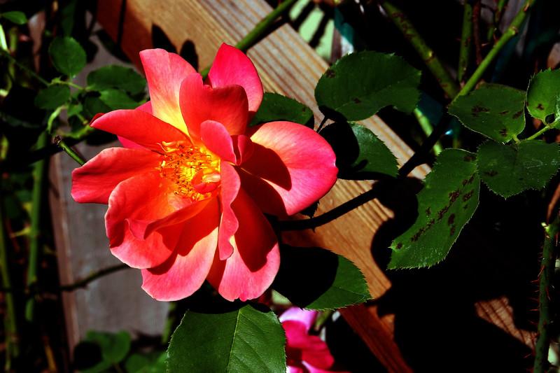 Rose-Josephs Coat-2005-08-24-0001