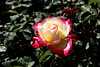 Rose-Double Delight-2007-03-01-0001