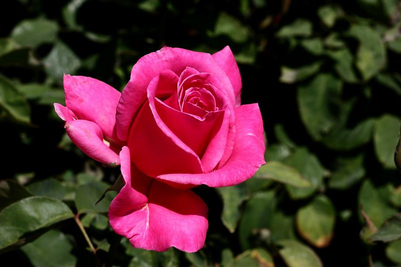Rose-Sonia-2007-04-01-0001