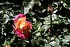 Rose-Pristine-2007-04-01-0001