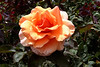 Rose-Peach-Alexander-2005-04-26-0001