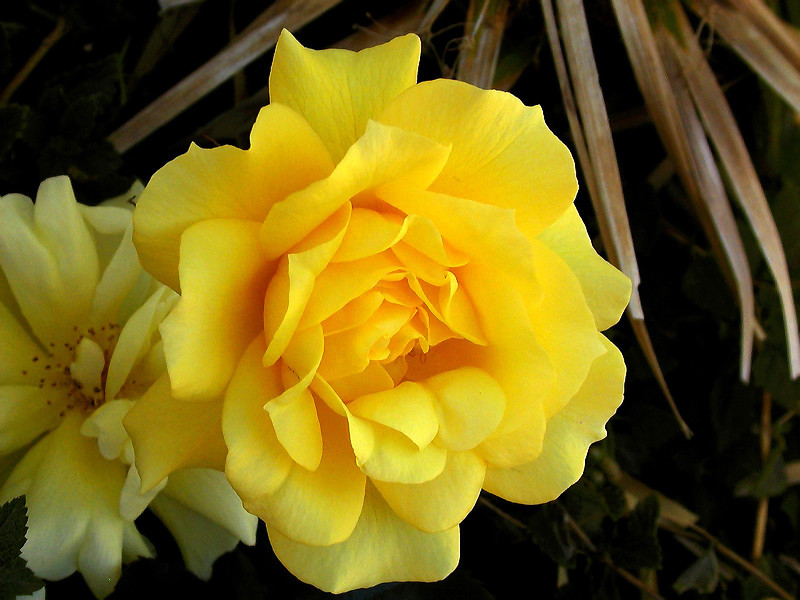 Rose-Friesia-2004-12-19-0001