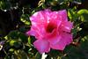 Rose-Carefree Beauty-2005-04-25-0001
