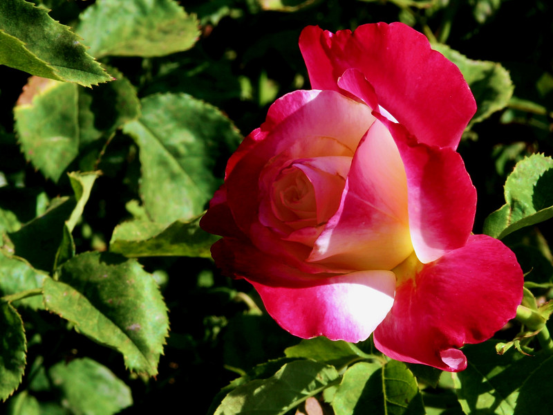 Rose-Double Delight-2005-04-26-0002
