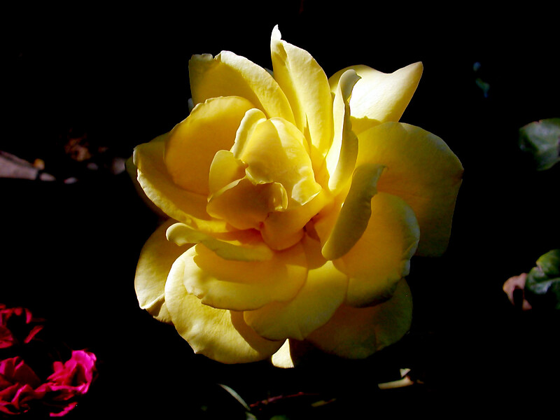 Rose-Amber Queen-2004-04-18-0001