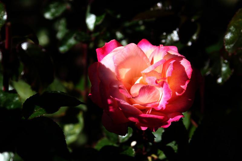 Rose-Rainbow Sorbet-2006-09-07-0002