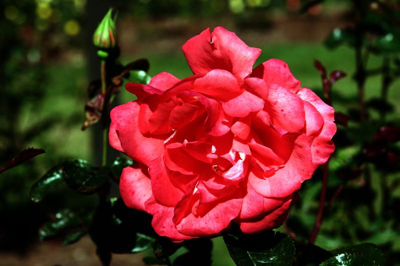 Rose-Marmalade Skies-2006-09-07-0002