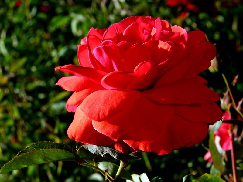Rose-Precious Platinum-2005-04-25-0001