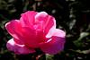 Rose-Sonia-2006-04-09-0001