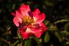 Rose-Sadler's Wells-2009-02-06-0001