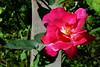 Rose-Cultivar-2005-08-24-0001