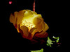 Rose-Sutters Gold-2004-04-18-0001