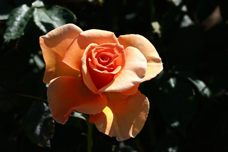 Rose-Julia's Rose-2007-04-01-0003