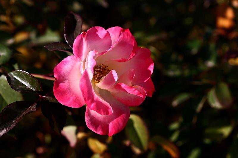 Rose-Sadler's Wells-2007-01-09-0001