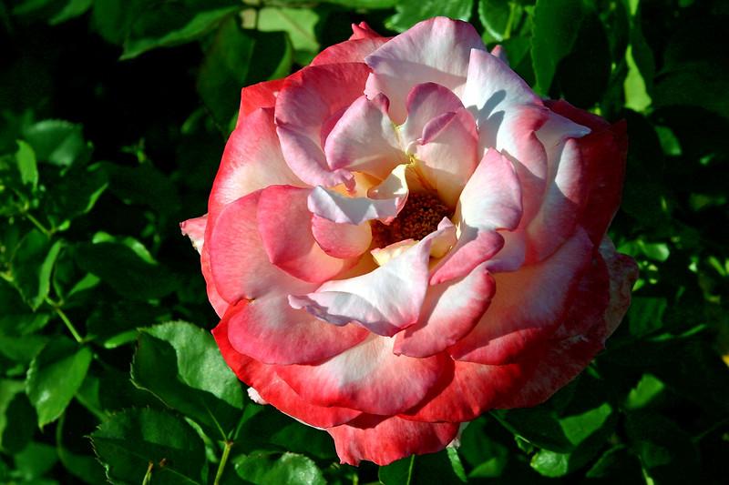 Rose-Regensberg-2006-04-01-0001
