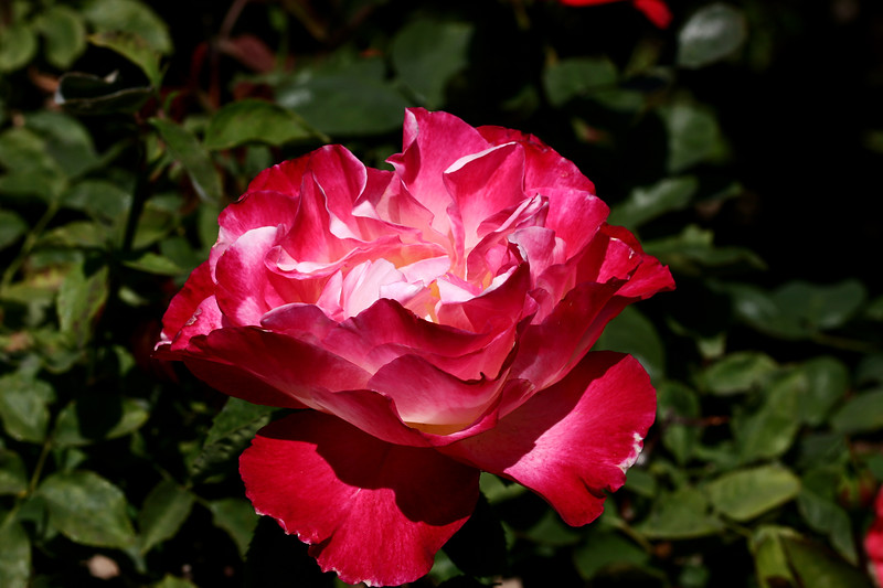 Rose-Rasberry Ice-2007-04-01-0001