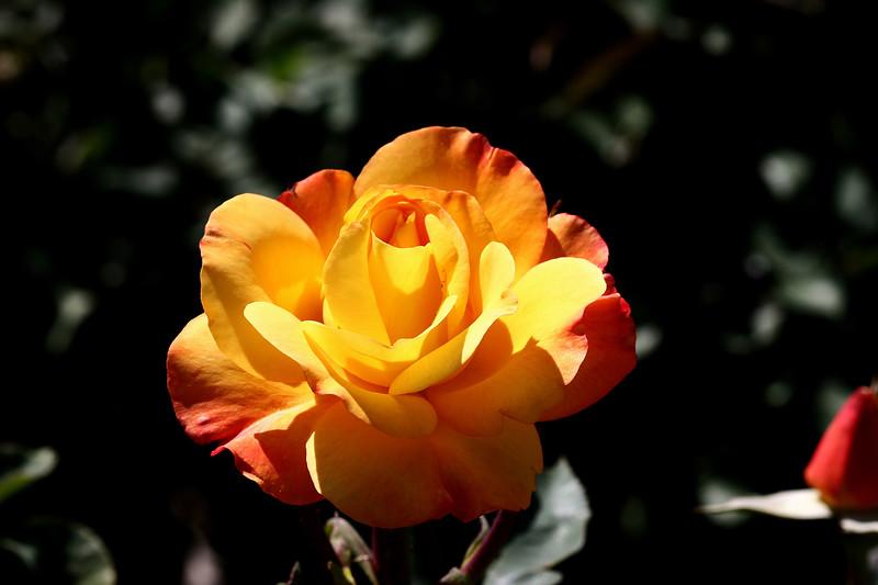 Rose-Joseph's Coat-2007-04-01-0001