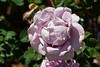 Rose, Blue Ribbon-HT-2011-04-10-0001