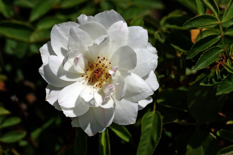 Rose-Rambling Rector-2007-07-29-0001