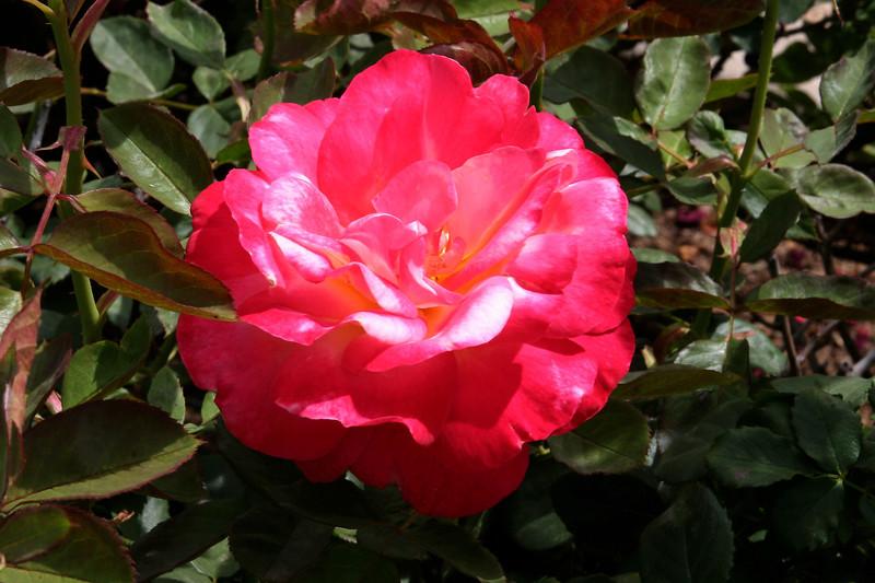 Rose-Papa Gontier-2005-05-01-0001