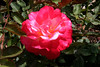 Rose-Papa Gontier-2005-05-01-0001