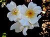 Rose-Bracteata-2004-04-18-0003