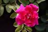 Rose-Etude-7007-06-10-0001