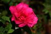 Rose-Ripples-2007-07-29-0001
