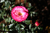 Rose-Debut-2006-09-07-0001