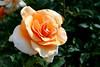 Rose-Brandy-2006-04-09-0001