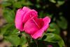 Rose, Etoile de Holland-HT-2011-04-17-0001