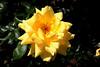 Rose-Windrush-2005-05-01-0001