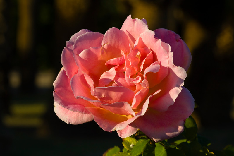 Rose-Papa Gontier-2009-02-06-0001