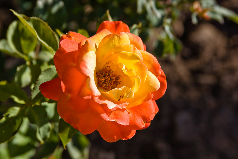 Rose-Double Delight-2010--05-16-0001