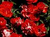 Rose-Loving Memoy-2004-04-18-0001