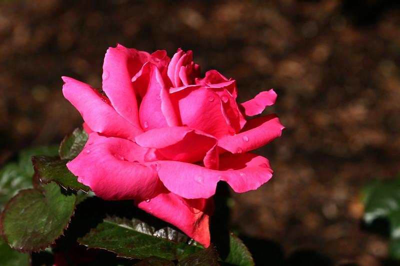 Rose-Electron-2006-09-07-0001