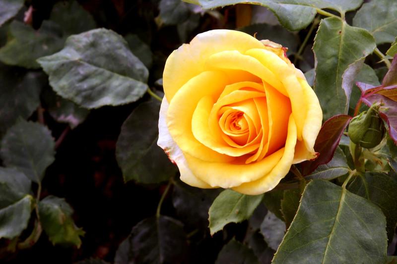 Rose-Arthur Bell-2005-05-01-0001