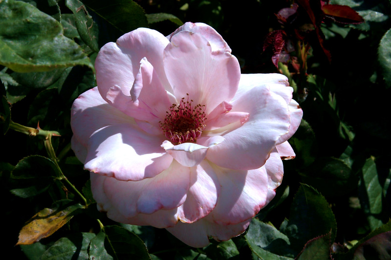 Rose-York and Landcaster-2005-04-26-0001