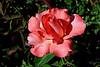 Rose-Pristine-2006-05-14-0001