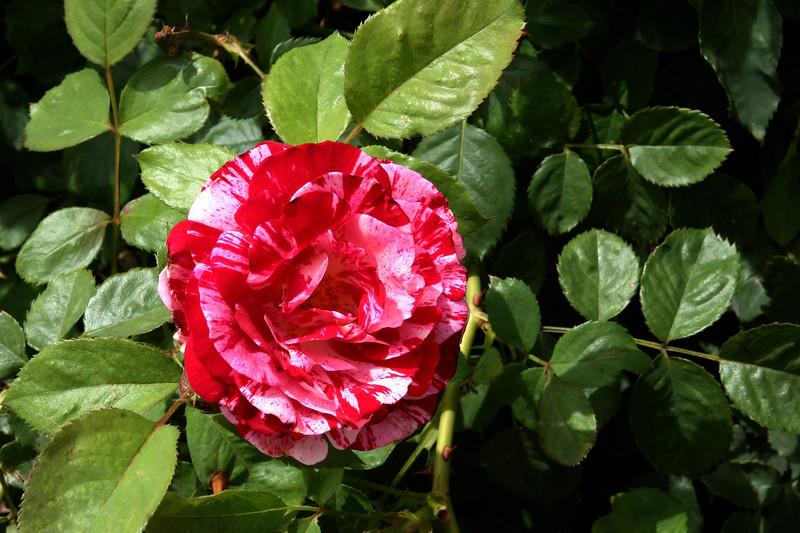 Rose-Ferdinand Pichard-2005-04-25-0002