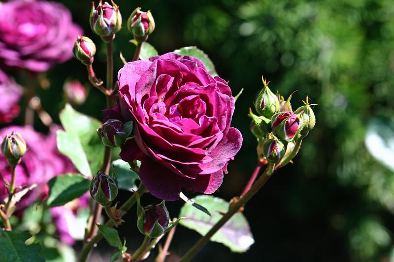Rose-Ebb Tide-2006-09-07-0001