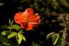 Rose, Sunrise at Heirloom-2009-06-07-0002