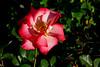 Rose-Sadler's Wells-2006-04-01-0002