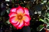 Rose-Sadler's Wells-2006-04-09-0001