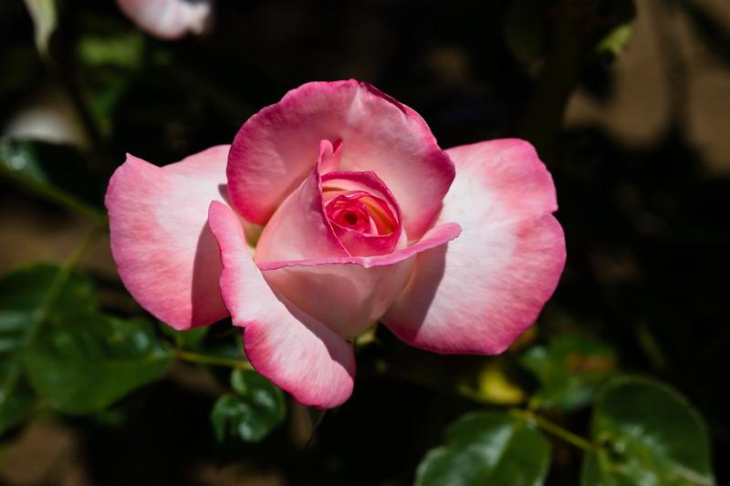 Rose, Secret-HT-2011-04-10-0001