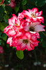 Rose-Sadler's Wells-2011-04-17-0001