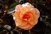 Rose-Brandy-2005-05-01-0001