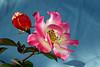 Rose-Sadler's Wells-2007-01-09-0002