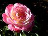 Rose-Papa Gontier-2006-05-14-0001